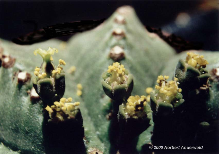 Euphorbia meloformis E_melof_3