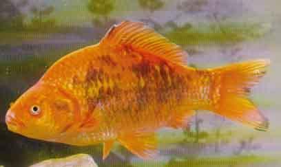Fische von a for Goldorfe fisch